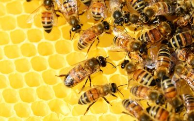 How honeybee venom can cure deadly breast cancer cells